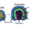 Key Difference Between Neurulation and Gastrulation