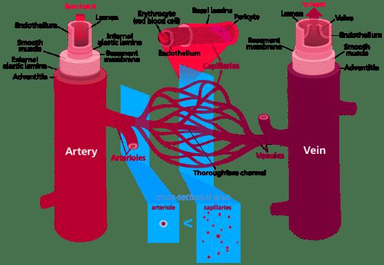 Key Difference - Vascular vs Avascular Tissue
