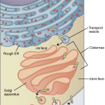 Difference Between Cristae and Cisternae