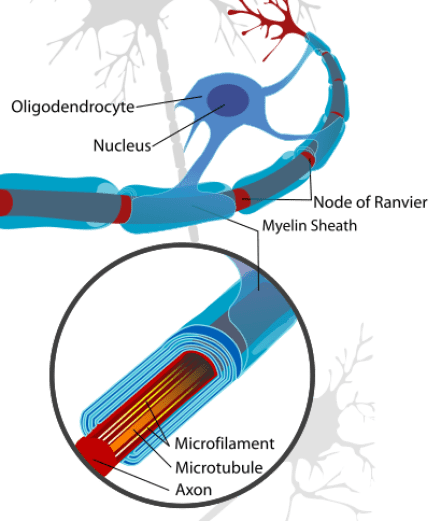 Key Difference Between Myelinated and Unmyelinated Nerve Fibres