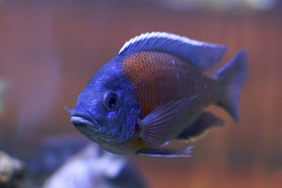 Key Difference Between African and South American Cichlids