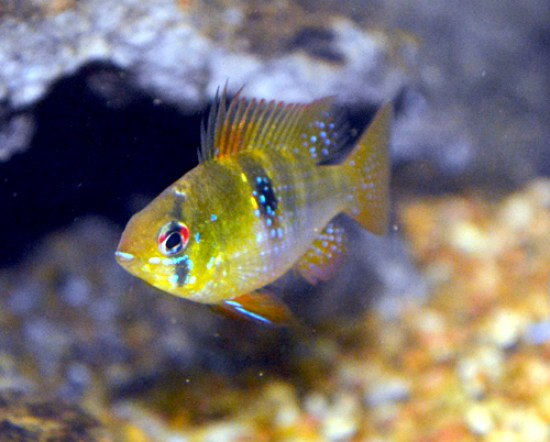Difference Between African and South American Cichlids