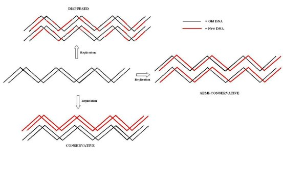 Key Difference Between Conservative and Semiconservative Replication