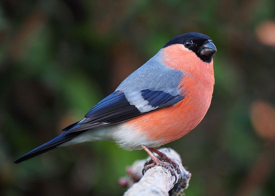 Difference Between Male and Female Society Finches