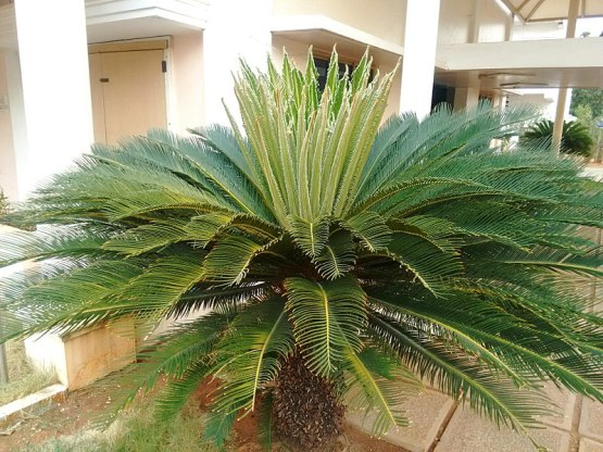 Difference Between Cycas and Pinus_Fig 01