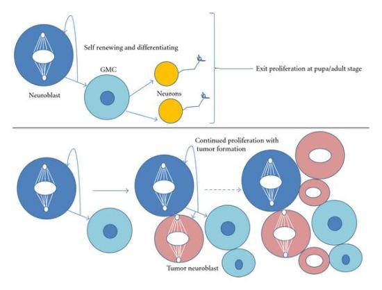 Difference Between Cell Proliferation and Differentiation