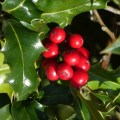 Difference Between Holly and Mistletoe