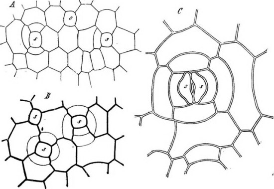 Key Difference - Guard Cells vs Subsidiary Cells