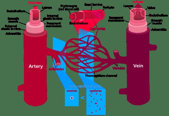 Vasculogenesis vs Angiogenesis