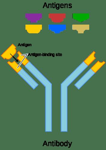 Difference Between Antiserum and Antibody