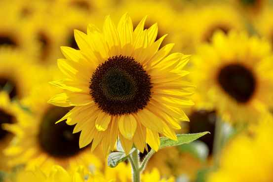 Difference Between Soy Lecithin and Sunflower Lecithin
