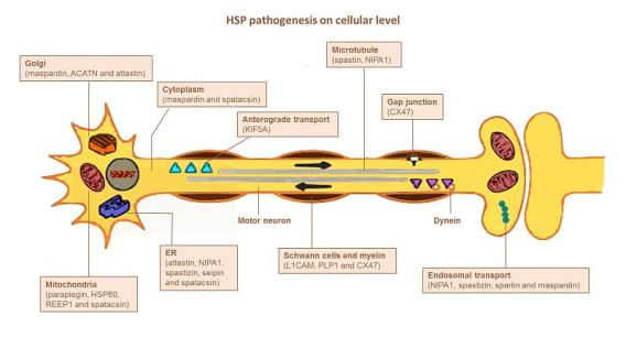 Difference Between Pathophysiology and Pathogenesis
