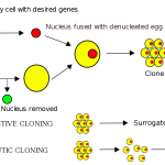 Difference Between Artificial Embryo Twinning and Somatic Cell Nuclear Transfer