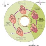 Difference Between Cardiac Cycle and Cardiac Output