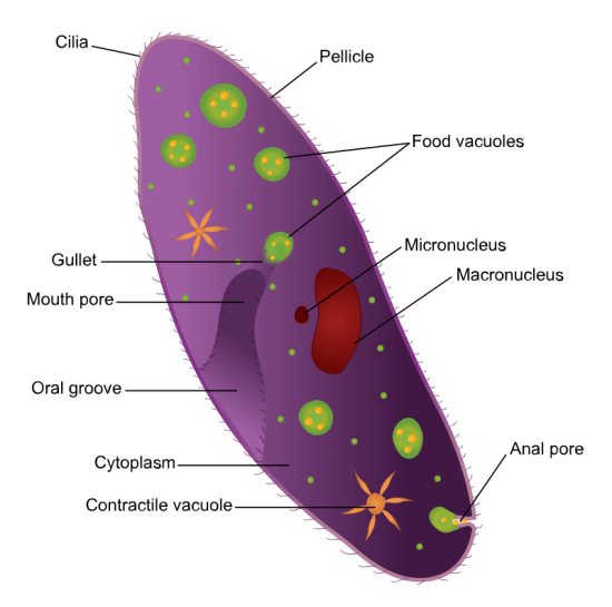 Difference Between Micronucleus and Macronucleus
