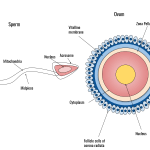 Difference Between Monospermy and Polyspermy