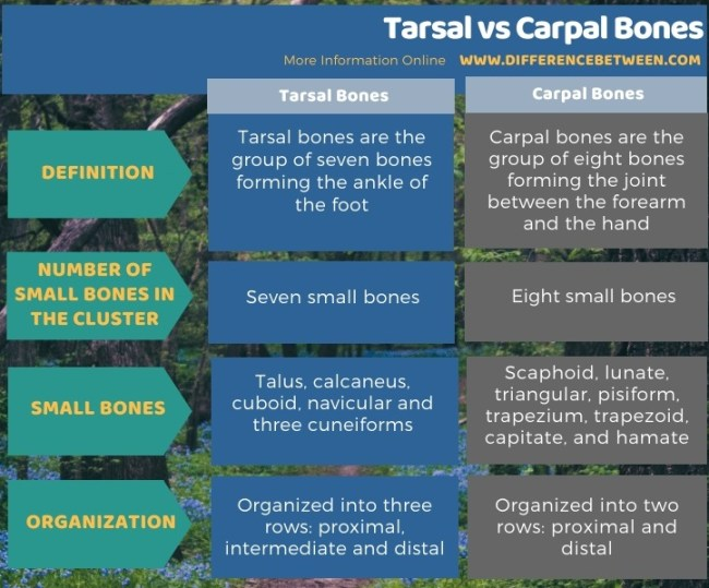 Difference Between Tarsal and Carpal Bones in Tabular Form