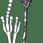 Difference Between Conidiophore and Sporangiophore