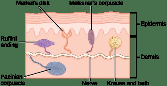 Difference Between Mechanoreceptors and Proprioceptors