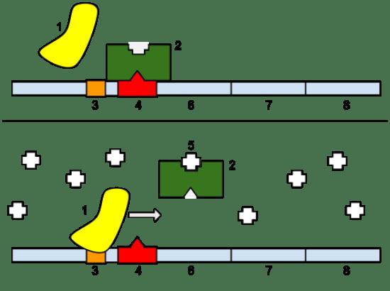 Key Difference - Regulatory vs Repressor Protein
