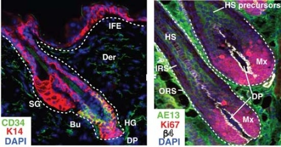 Difference Between Histogenesis and Morphogenesis