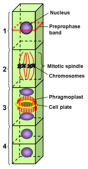 Key Difference - Phragmoplast vs Cell Plate