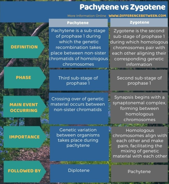 Difference Between Pachytene and Zygotene in Tabular Form