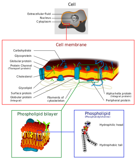 Difference Between Tonoplast and Plasma Membrane