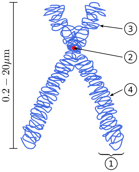 Key Difference - Monocentric vs Dicentric vs Polycentric Chromosomes
