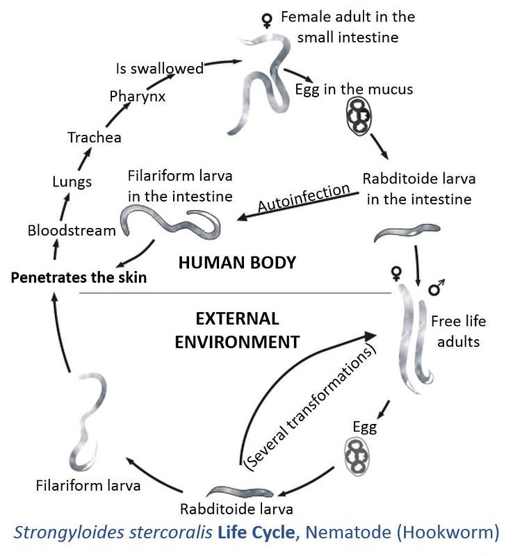 Prezentarea paraziților umani pe biologie. Paraziți protozoici Pinworms dimensiunea feminină