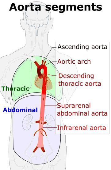 Key Difference - Ascending vs Descending Aorta
