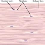 Difference Between Collagen Elastin and Reticular Fibers
