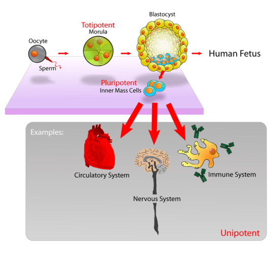 Difference Between Trophoblast and Inner Cell Mass