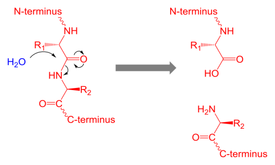 Key Difference - Protein Denaturation vs Hydrolysis