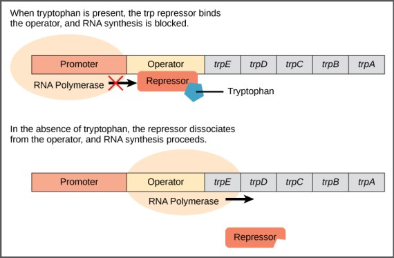 Difference Between Inducible and Constitutive Promoter