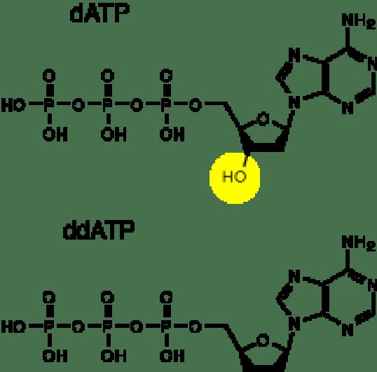 Key Difference - dATP vs ddATP