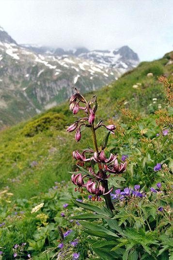 Key Difference - Fabaceae vs Solanaceae vs Liliaceae