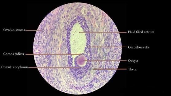 Key Difference - Graafian Follicle vs Corpus Luteum