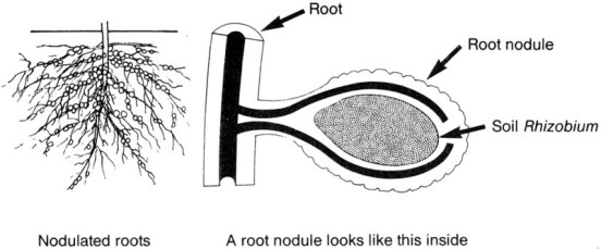 Key Difference - Azotobacter vs Rhizobium