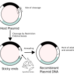 Difference Between rDNA and cDNA