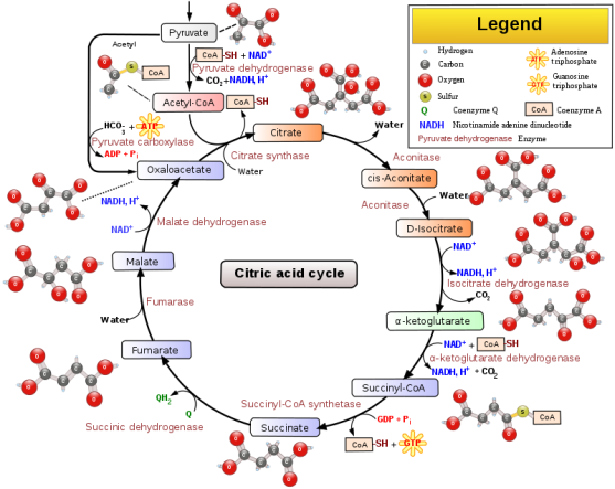 Glycolysis vs Citric Acid Cycle vs Electron Transport Chain