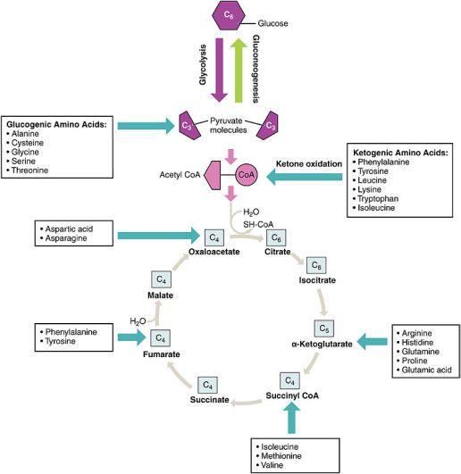 Biosynthetic Pathway vs Degradative Pathway