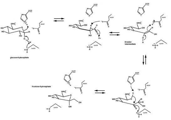 Isomerase vs Mutase Enzyme