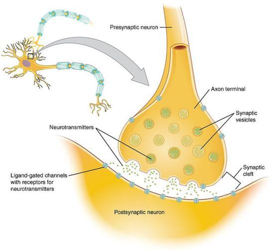 Presynaptic Neuron and Postsynaptic Neuron - Difference
