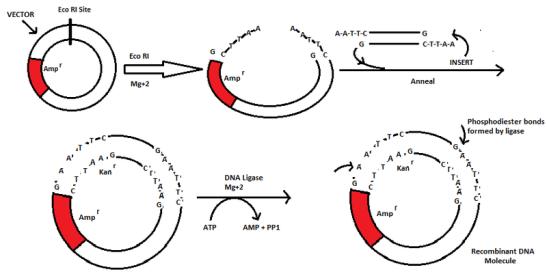 Recombinant DNA vs Recombinant Protein