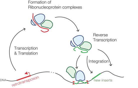 Compare Class I and Class II Transposable Elements