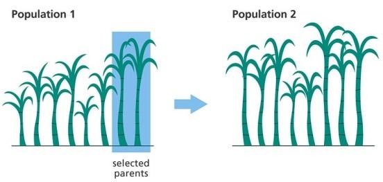 Transgenesis vs Selective Breeding