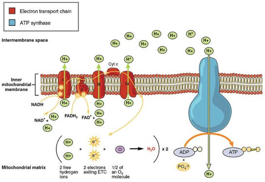 What is Electron Transport Chain