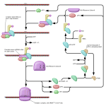What is the Difference Between Prokaryotic and Eukaryotic Translation Initiation