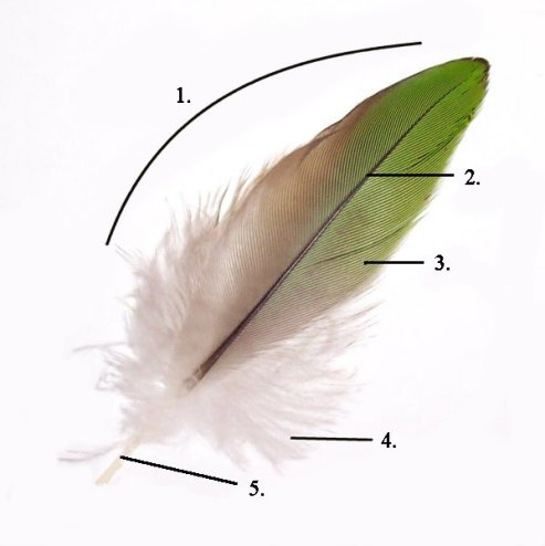 Feather and Quill Differences